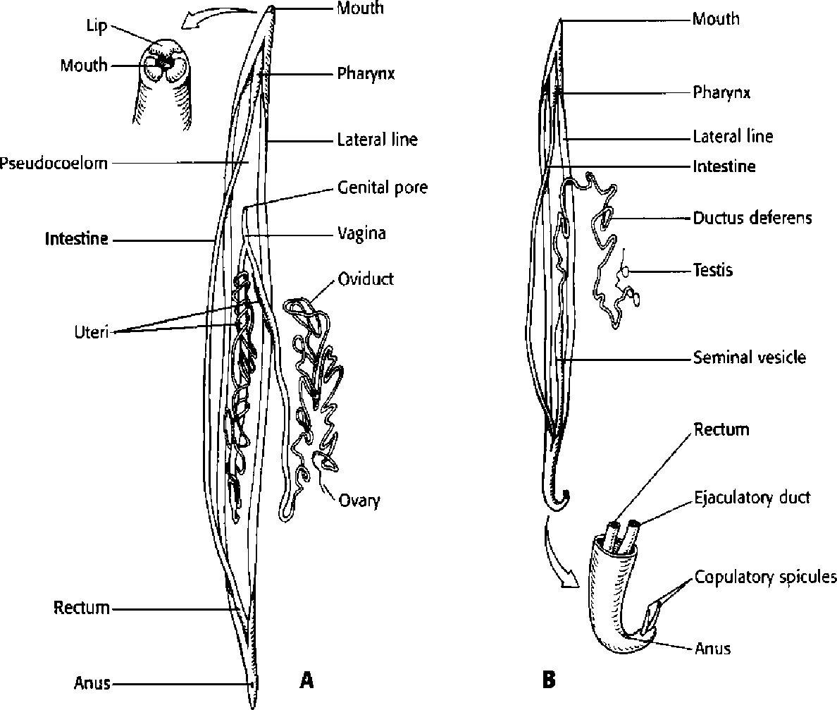 nephridia of annelida